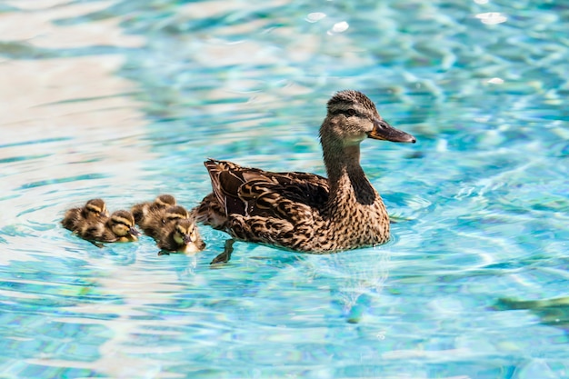 Enten schwimmen
