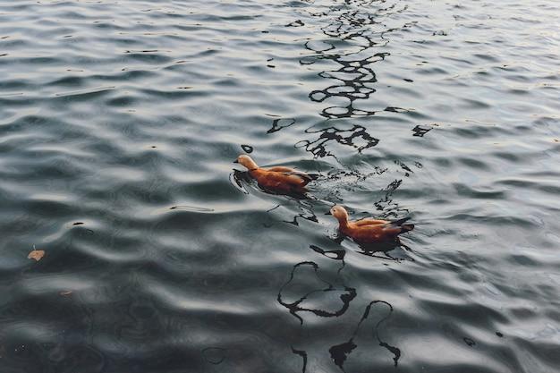Enten und ein drake schwimmen auf dem wasser in einem teich.