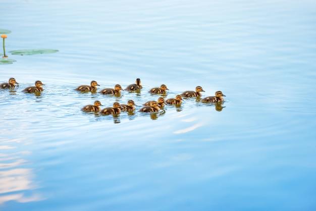 Entenfamilie mit vielen kleinen entenküken, die auf dem fluss schwimmen