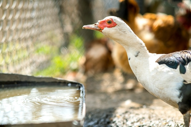 Entenfutter auf traditionellen ländlichen scheunen. detail eines wasservogeltrinkwassers auf scheunenhof. konzept der freilandhaltung von geflügel.
