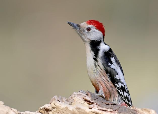 Entscheidendes porträt des mittelspechts. es ist möglich, für den vogelidentifizierungsführer zu verwenden.