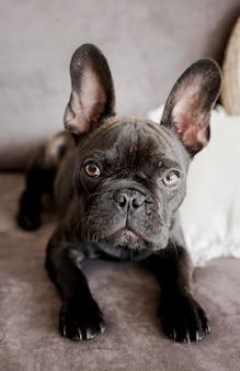 Entzückende französische bulldogge der nahaufnahme