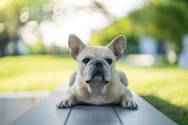 Entzückende französische bulldogge, die auf der bank liegt und im freien auf die kamera schaut