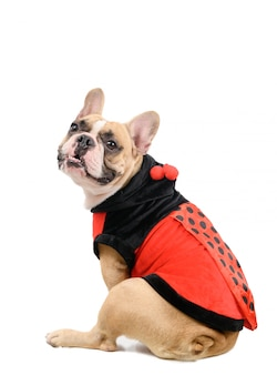Entzückende französische bulldogge, die ein niedliches und lustiges marienkäferkostüm trägt, das auf weiß lokalisiert wird