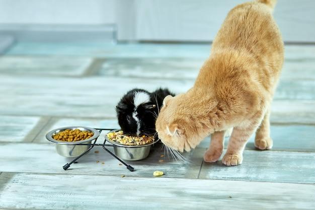 Entzückende katze und meerschweinchen, die drinnen zu hause essen