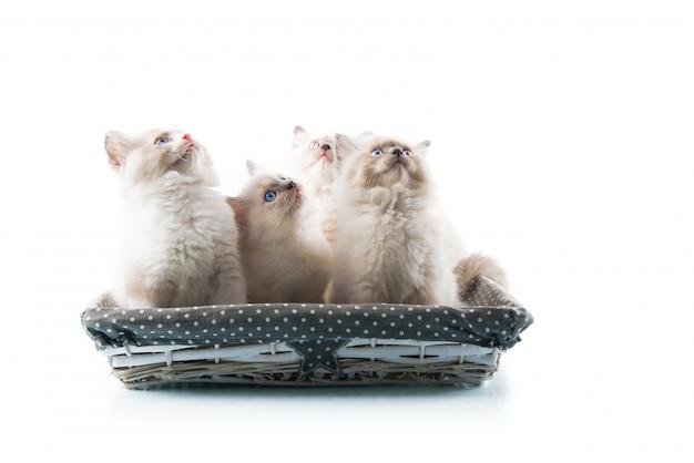 Entzückende katzen auf getrenntem weißem hintergrund