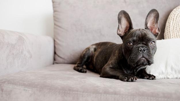 Entzückende niedliche kleine französische bulldogge