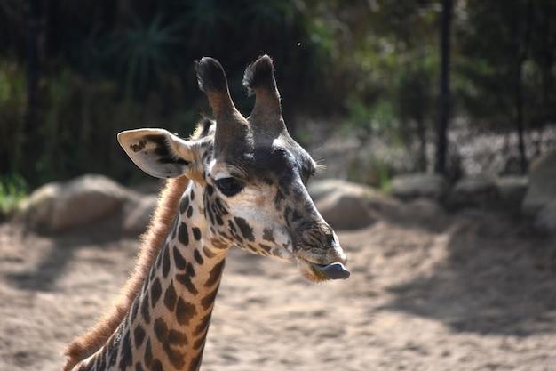 Entzückende nubische giraffe, die ihre zunge herausstreckt