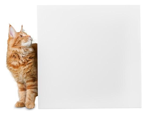Entzückende rote katze mit leerer karte auf weißem hintergrund