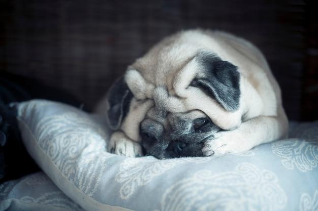 Entzückende schöne hund mops schlafen und ruhen auf einem blauen kissen