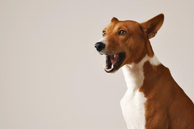 Entzückender basenji-hund, der gähnt oder isoliert auf weiß spricht