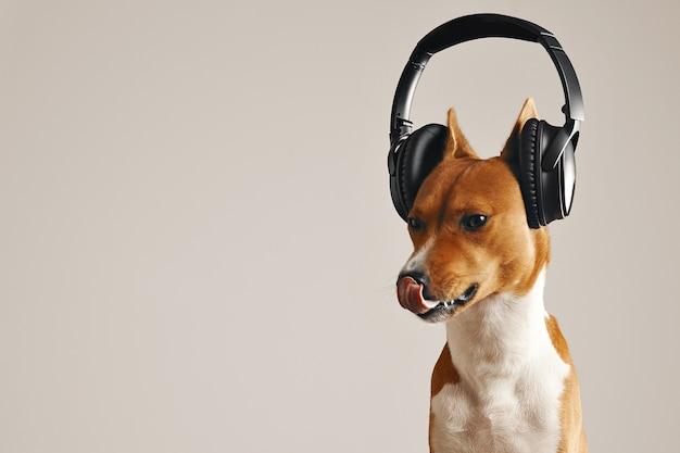 Entzückender basenji-hund im schwarzen drahtlosen headset, der seine nase leckt, nahaufnahmeschuss lokalisiert auf weiß