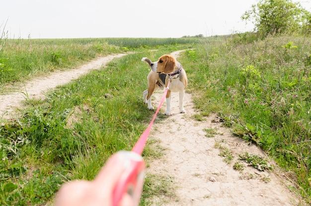 Entzückender beagle, der spaziergang im park genießt