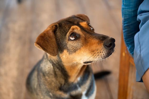 Entzückender brauner streunender hund, der sitzt und das essen mit flehendem anblick betrachtet