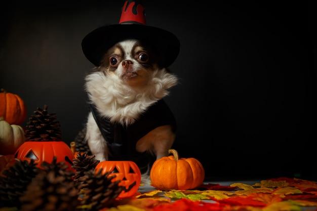 Entzückender chihuahuahund, der einen halloween-hexenhut trägt und einen kürbis auf dunkelheit hält.