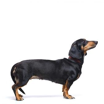 Entzückender dachshundhund steht auf einer weißen oberfläche