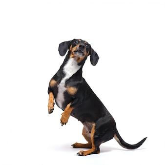 Entzückender dachshundhund steht auf seinen hinterbeinen auf einer weißen oberfläche