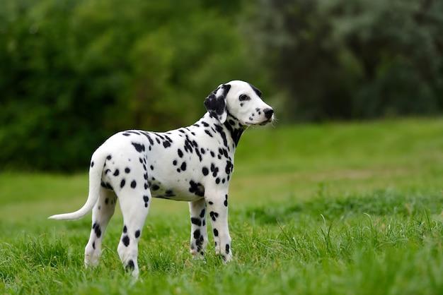 Entzückender dalmatinischer hund im sommer im freien