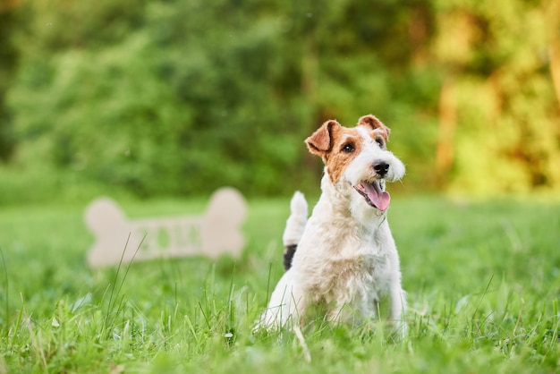 Entzückender glücklicher foxterrierhund am neujahrsgruß des parks