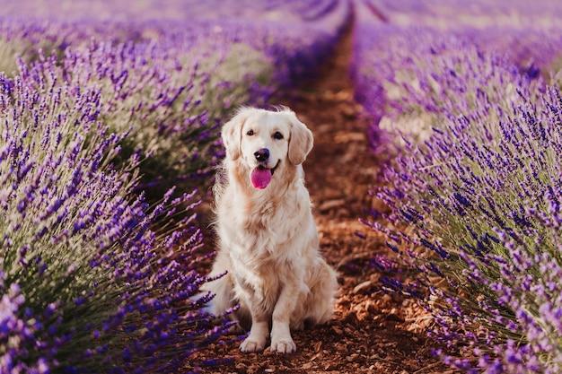 Entzückender golden retriever-hund auf dem lavendelgebiet bei sonnenuntergang