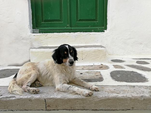 Entzückender hund, der auf dem boden vor der treppe und der grünen tür in mykonos griechenland sitzt