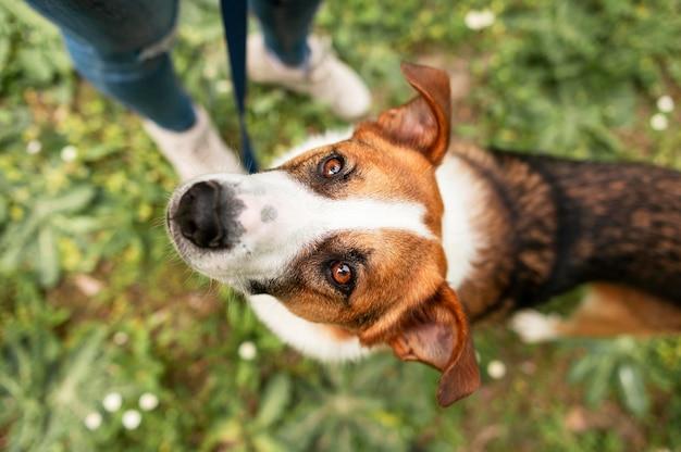 Entzückender hund der draufsicht, der spaziergang im park genießt