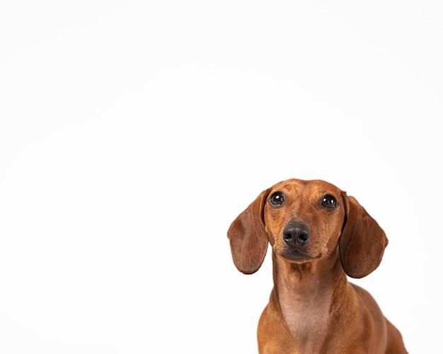 Entzückender hund, der in einem studio aufschaut