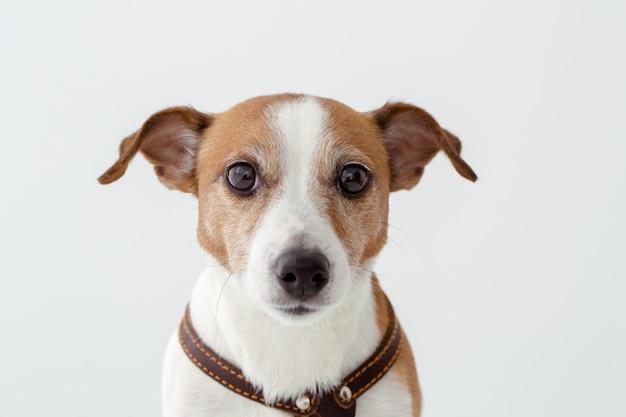 Entzückender hund, der kamera betrachtet