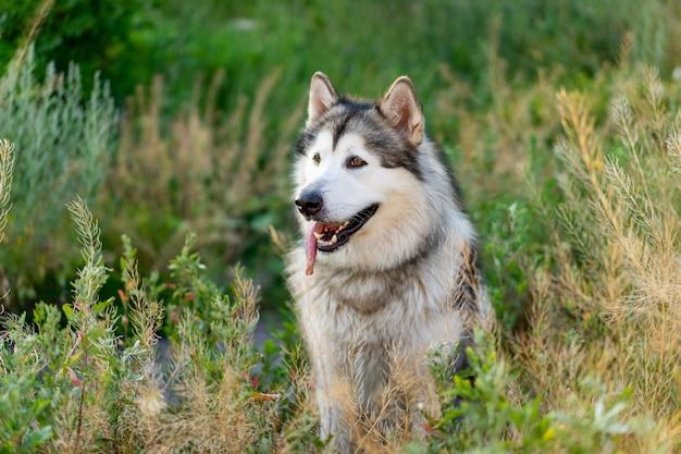Entzückender husky-hund, der im gras auf dem feld sitzt und im sommer auf ein schönes hundeporträt zurückblickt ...