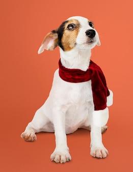 Entzückender jack russell retriever-welpe, der einen weihnachtsschal trägt