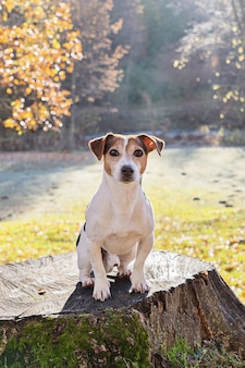 Entzückender jack- russellterrierhund, der auf altem stumpf sitzt