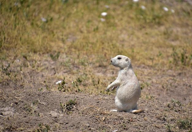 Entzückender junger weißer präriehund, der oben auf seinen hinterbeinen sitzt.