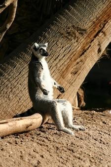 Entzückender katta sitzt auf dem wald im zoo