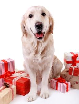 Entzückender labrador sitzt mit geschenkboxen, isoliert auf weiß
