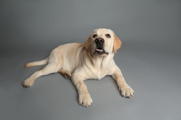 Entzückender labradorhund auf grauer oberfläche