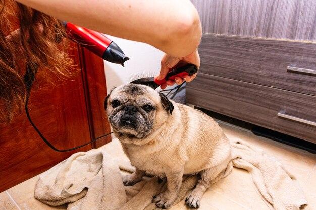 Entzückender mops in der badewanne zu hause, der sich auf ein beruhigendes bad mit heißem wasser vorbereitet. konzept der haustierpflege, fellpflege und hundehygiene.