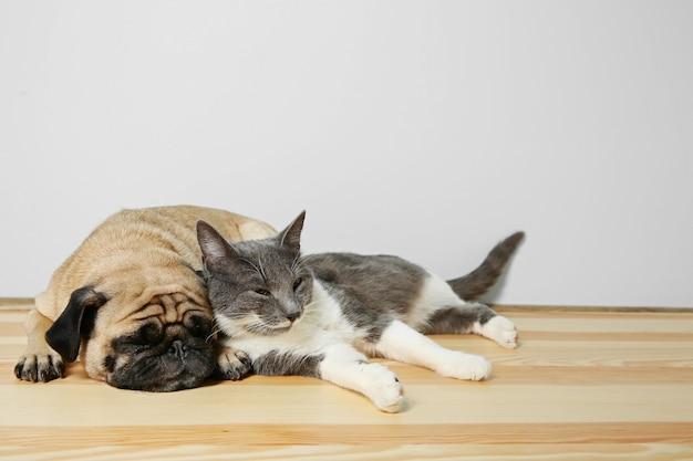 Entzückender mops und süße katze liegen zusammen auf dem boden