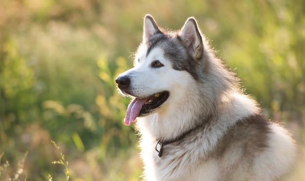 Entzückender pelziger husky-hund, der ruhig im gras auf dem feld sitzt und ein schönes hündchen mit i...