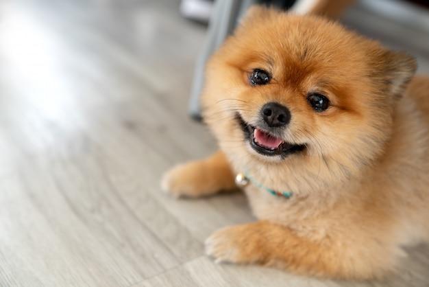 Entzückender pomeranian hund, der kamera betrachtend lächelt