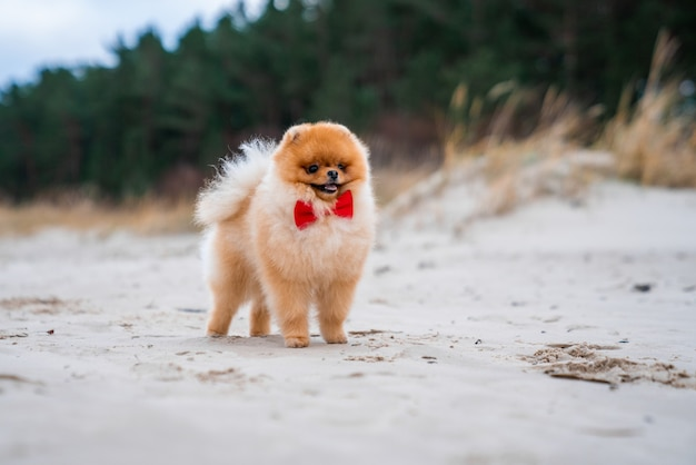 Entzückender pommerscher spitzhund mit roter schleife, der spaß hat und am strand läuft
