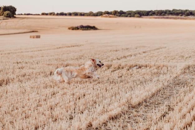 Entzückender und lustiger golden retriever-hund, der in gelbes feld bei sonnenuntergang läuft