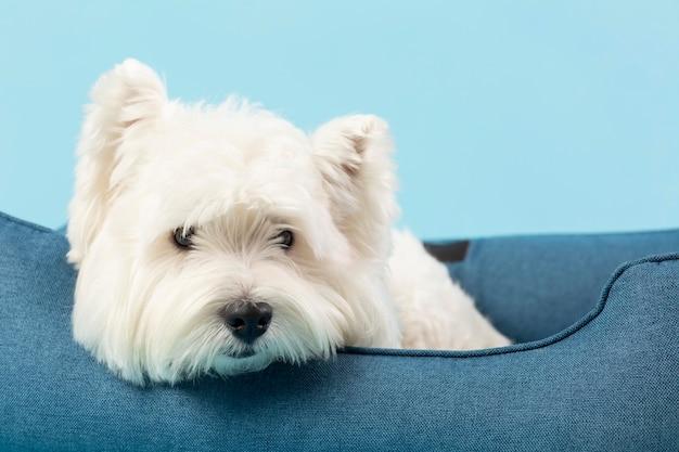 Entzückender weißer hund isoliert auf blau