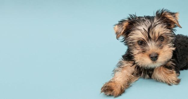Entzückender yorkshire terrier welpe mit kopienraum