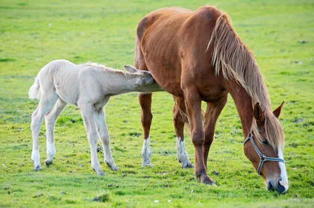 Entzückendes babypferd mit seiner mutter, die grünes gras isst