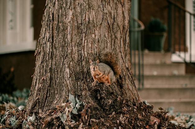 Entzückendes braunes eichhörnchen des pelzes ordentlicher großer baum