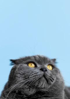 Entzückendes britisches kurzhaarkätzchen mit monochromer wand hinter ihr