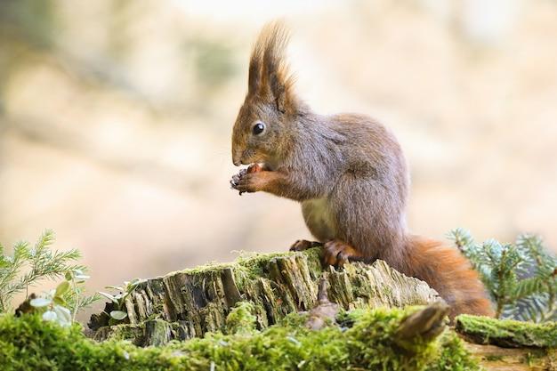 Entzückendes eichhörnchen, das auf einem baumstumpf sitzt, eine nuss hält und im wald füttert