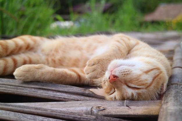 Entzückendes faules goldenes braunes katzenschläfchen auf der bambusbrücke