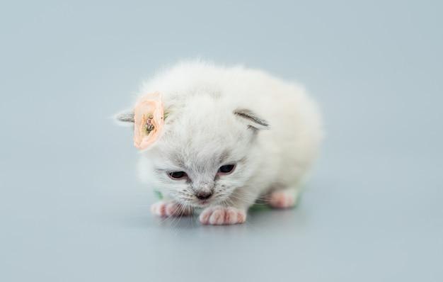 Entzückendes flauschiges ragdoll-kätzchen, das eine blume auf seinem ohr trägt, isoliert auf hellblauem hintergrund