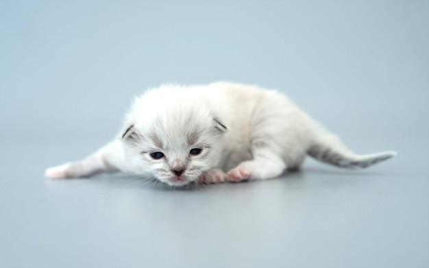 Entzückendes flauschiges ragdoll-kätzchen mit schönen augen, die isoliert auf hellblauem hintergrund liegen lying